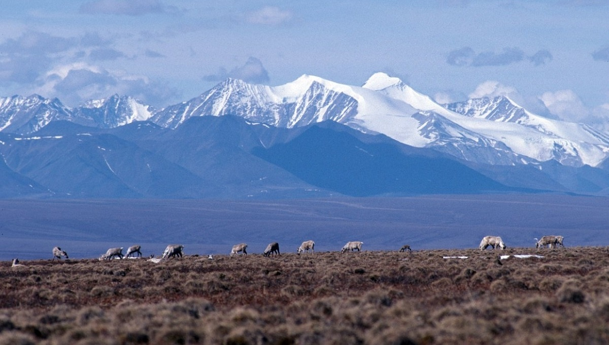 Caribou against a mountain backdrop at Arctic National Wildlife Refuge
