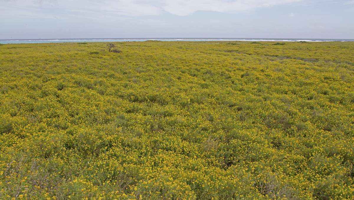 Verbesina encelioides covering Midway Atoll NWR