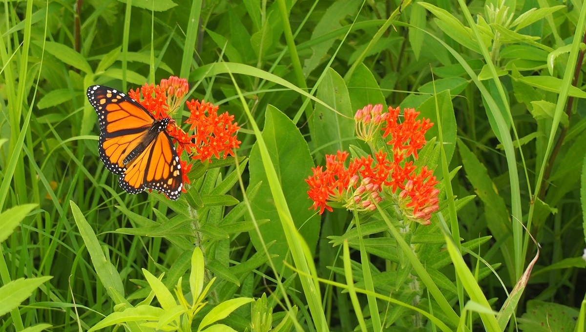 monarch butterfly at Neal Smith NWR