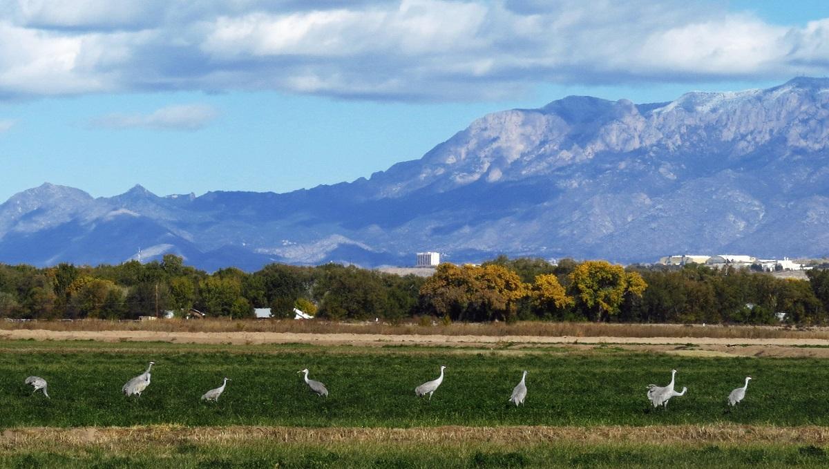Sandhill cranes at Valle de Oro NWR