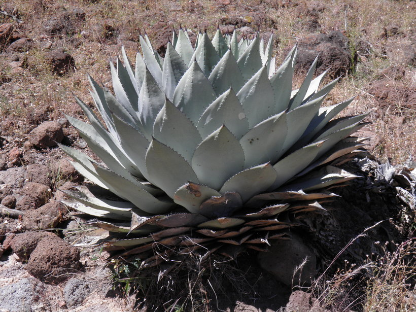 Agave parryi, Photo: Wynn Anderson, 2016 CalPhotos