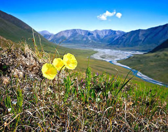 Flower at Arctic National Wildlife Refuge