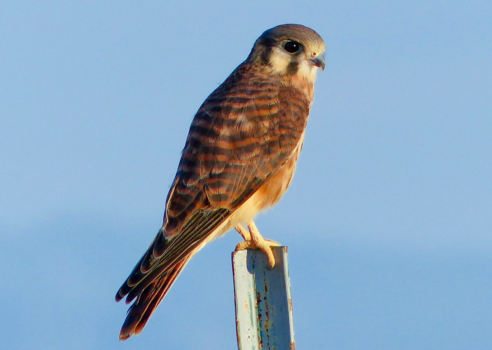 American Kestrel at Valle de Oro National Wildlife Refuge